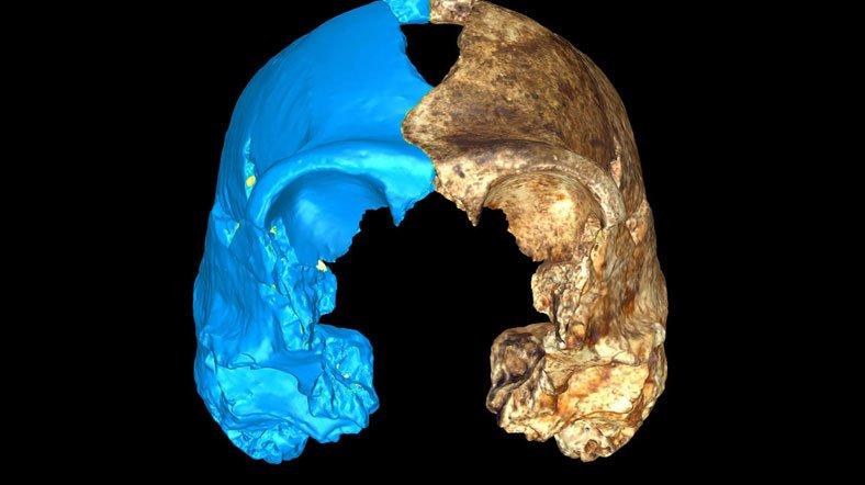 Homo naledi'nin yarısı bilgisayar modeliyle tamamlanmış kafatası. [Fotoğraf: Heather Garvin]