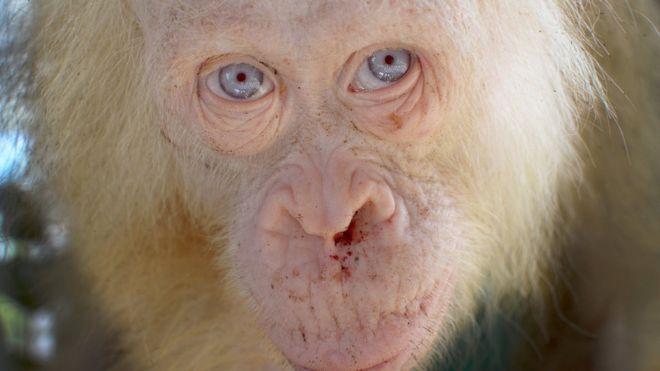 'İlk Kez Karşılaşılan' Albino Orangutan Korumaya Alındı
