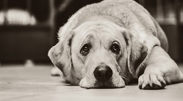 Köpeklerin Üzgün Bakışları İnsanların İlgisini Çekebilmek İçin Evrimleşmiş