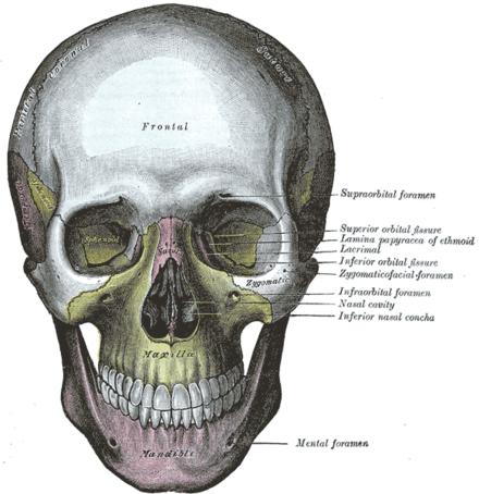 Bilim insanları, kafatasında yeni bir organ bulduklarını açıkladı !